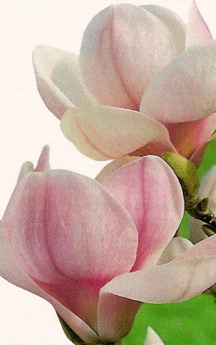 magnoliafleur.jpg
