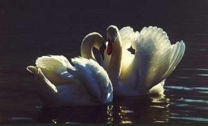 cygne couple