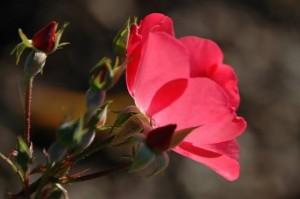 rose rose gilles